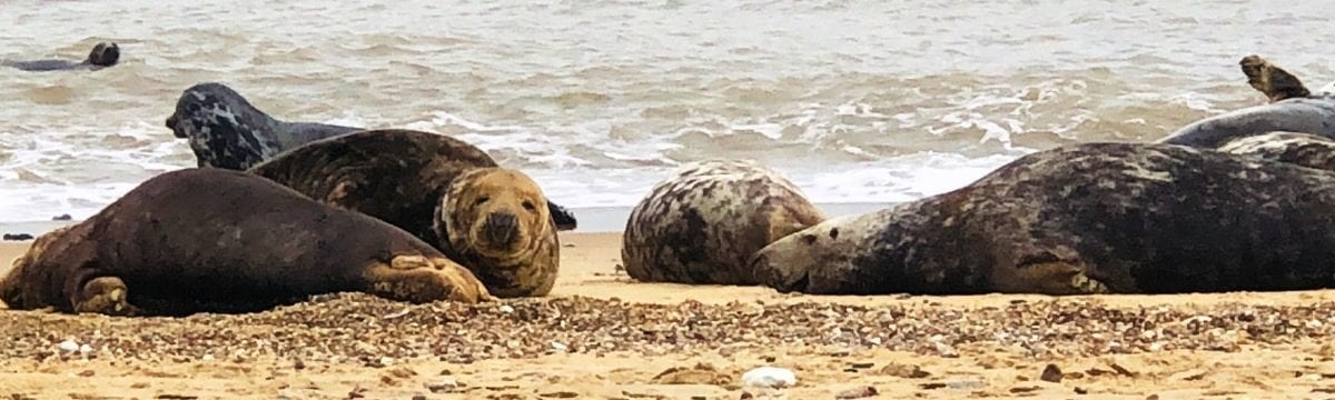 Visiting the Grey Seals of Horsey Gap, Norfolk